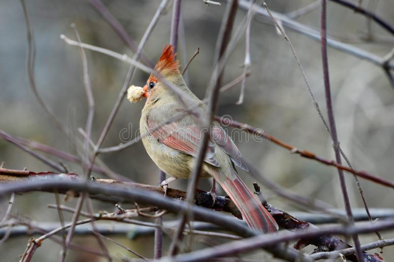 Female Northern Cardinal With Food. This is an early Winter picture of a female Northern Cardinal perched on a branch with a piece of bread in its beak in the stock photos