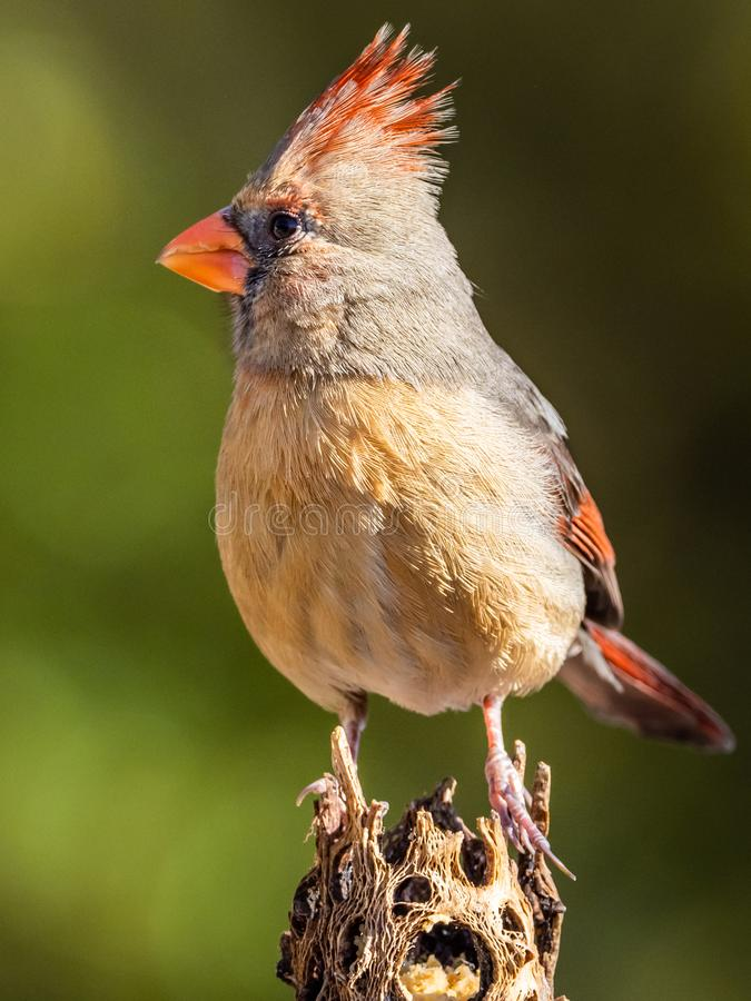 Female Northern Cardinal. Perched On Cholla Cactus In Southern Arizona stock photography
