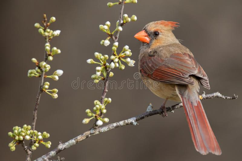 Female Northern Cardinal Perched stock images