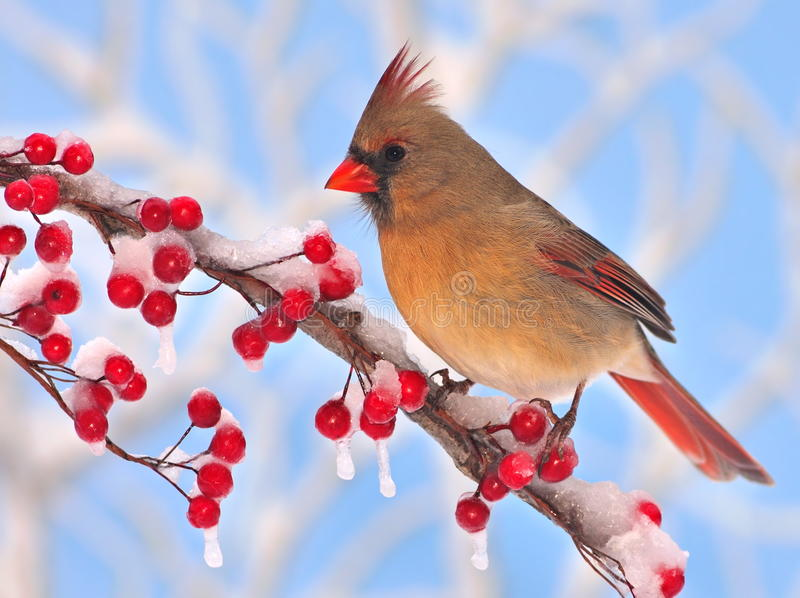 Female Northern Cardinal At Red Winter Berries. A beautiful female Northern Cardinal (Cardinalis cardinalis) at icy red winter berries with blue sky in the stock photo
