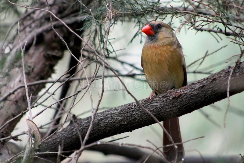 Female Northern cardinal,  redbird, cardinalis cardinalis. Portrait of one female northern cardinal on a tree branch. The northern cardinal is a bird in the stock images
