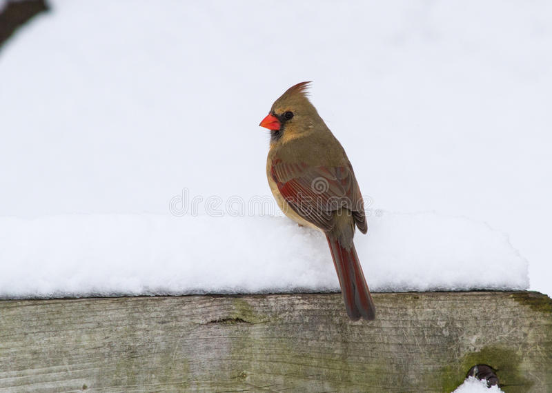 A Female Northern Cardinal On A Snowy Perch stock photography