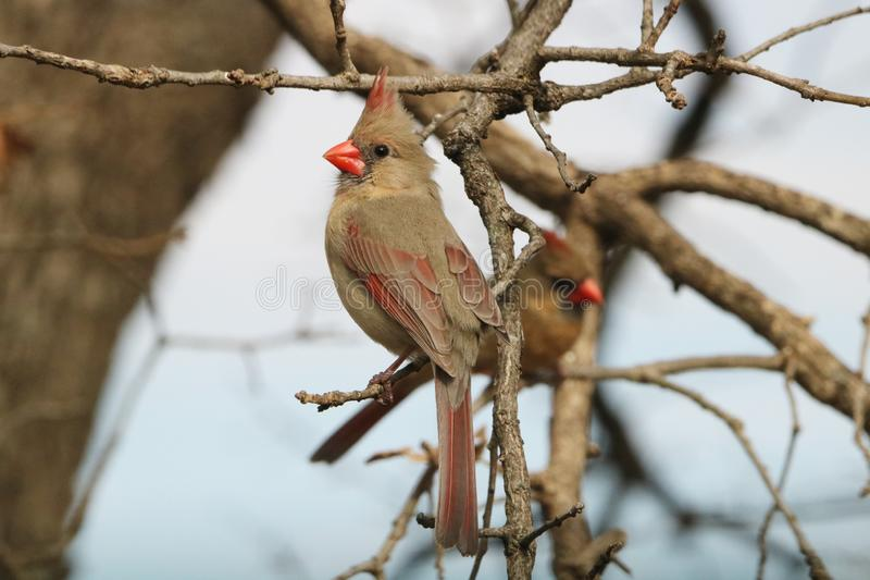 Female Northern Cardinal on Tree Branch in Winter stock images