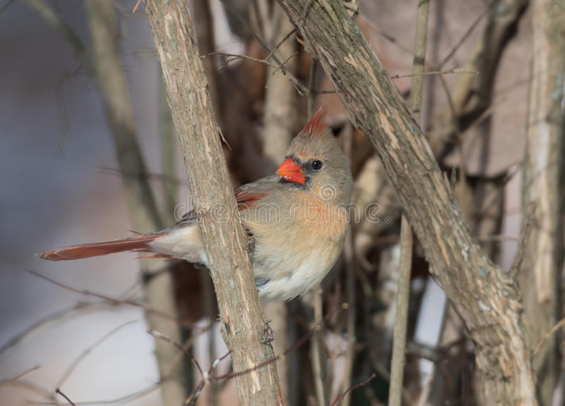 Female northern cardinal in winter royalty free stock images
