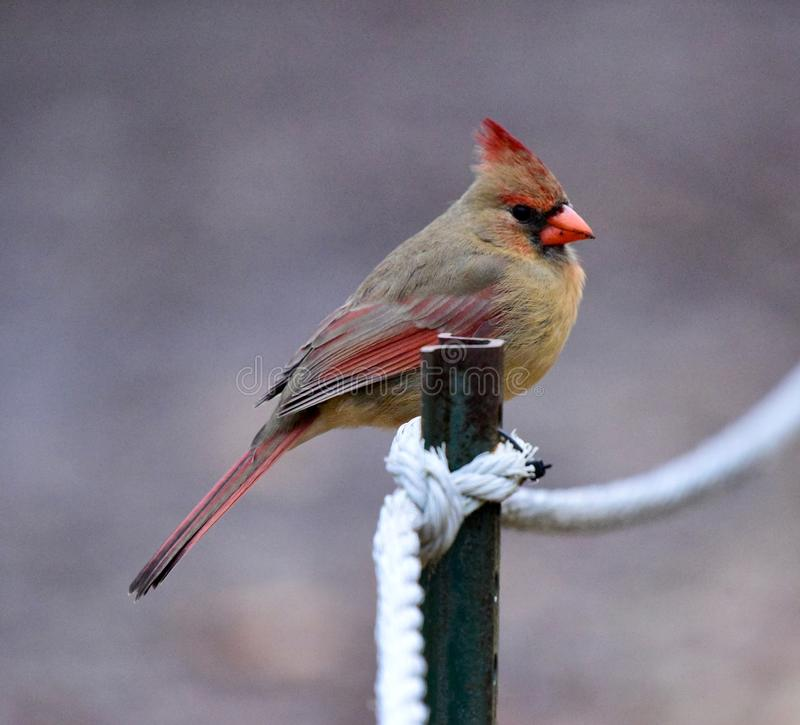 A Female Northern Cardinal. This is a Winter picture of female Northern Cardinal, a songbird with fairly long tail feathers in the Montrose Point Bird Sanctuary stock images