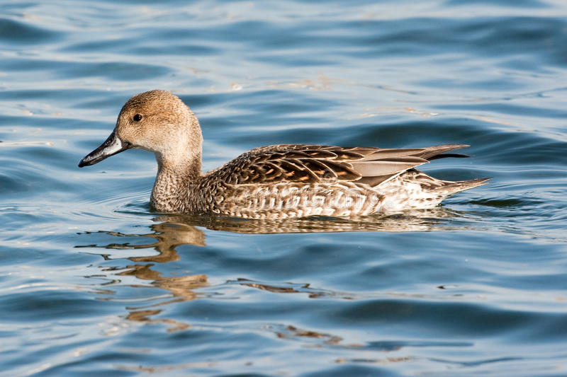 Female Northern Pintail. Adult Female Northern Pintail Swimming in Lake stock images