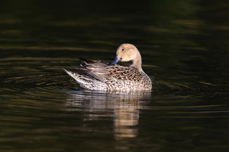 Female Northern Pintail duck (Anas acuta) royalty free stock photos
