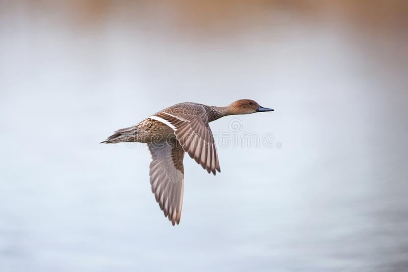 Female northern pintail. At Vancouver BC Canada stock photography