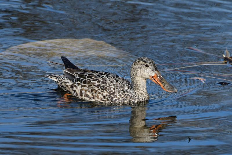 Female Northern Shoveler. This is an early Spring picture of a female Northern Shoveler on the South Pond in Lincoln Park located in Chicago, Illinois in Cook stock photo