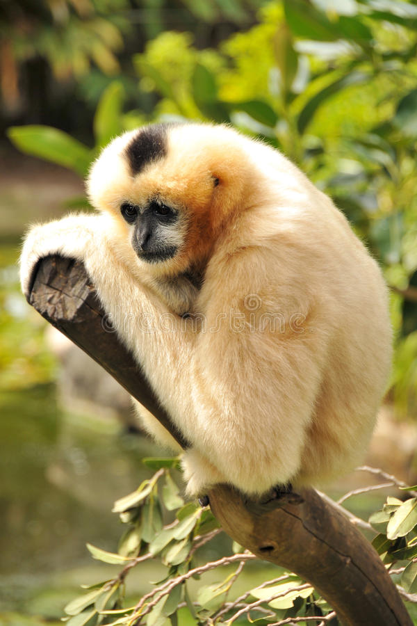 Female Northern white-cheeked gibbon. Is sitting on a branch royalty free stock image