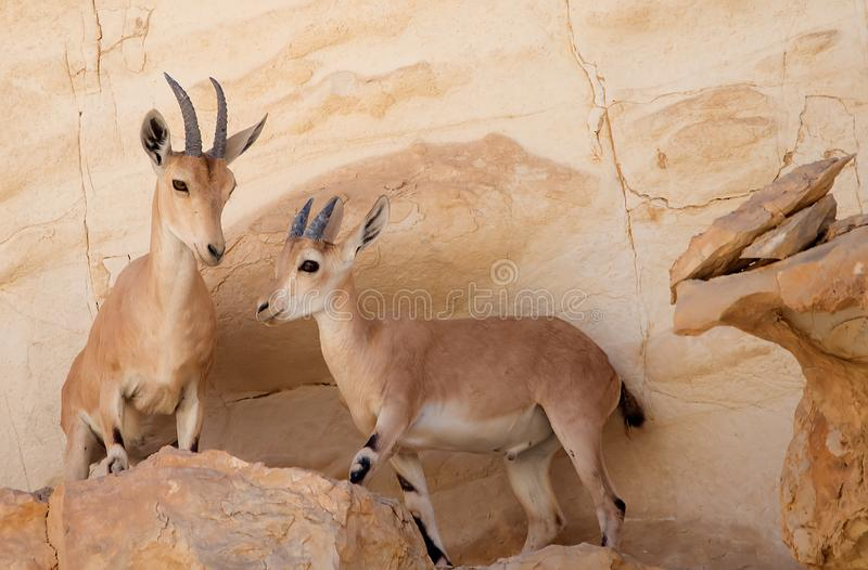 Female Nubian Ibex and new born kid royalty free stock photo