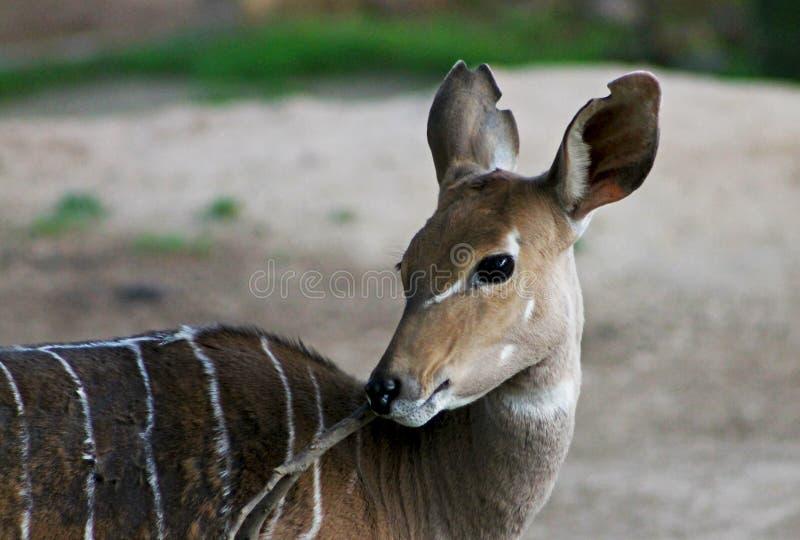 Female Nyala Antelope With Stripes royalty free stock photos