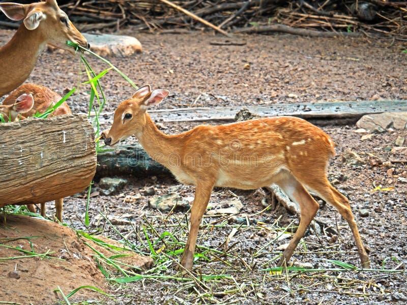 Female Nyala or Tragelaphus angasii Eating Grass on Nature Back. Closeup Female Nyala or Tragelaphus angasii Eating Grass on Nature Background stock photos