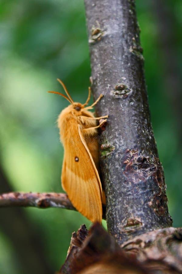 Female oak eggar Lasiocampa quercus stock photos