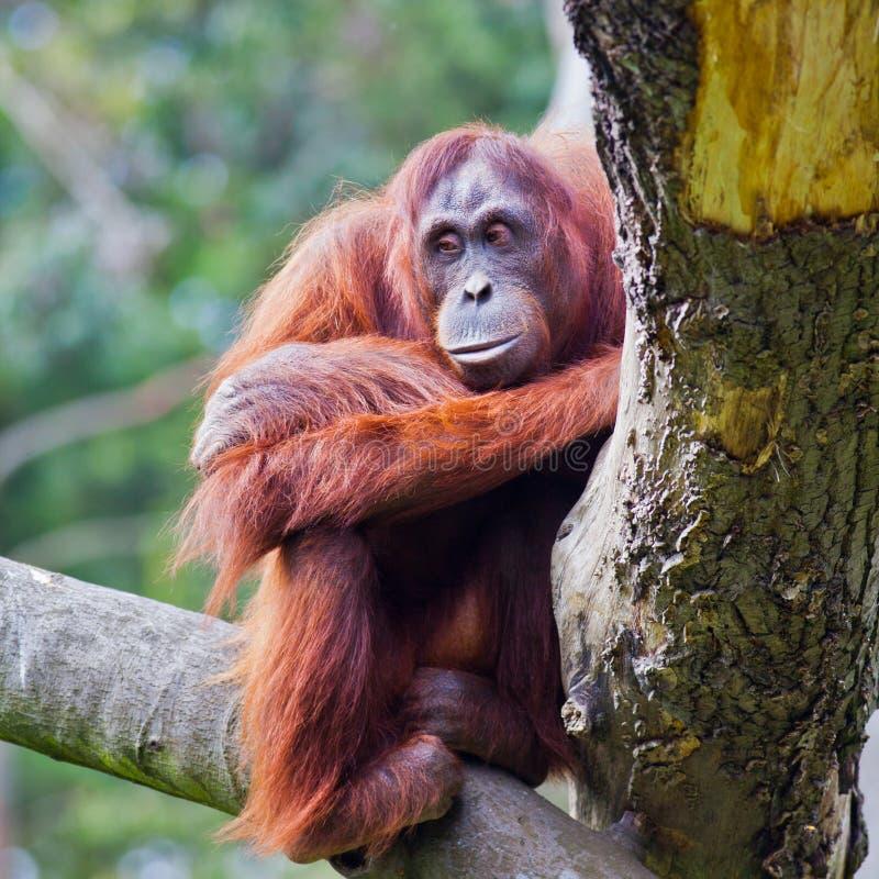 Female Sumatran Orangutan Hanging In The Trees Gunung