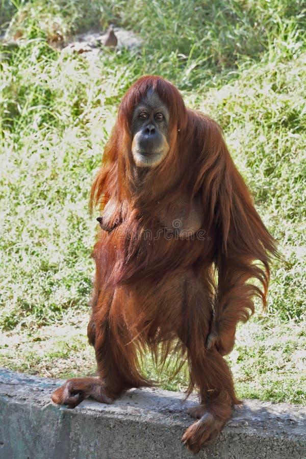 A Female Orangutan Standing Stares Stock Photo - Image