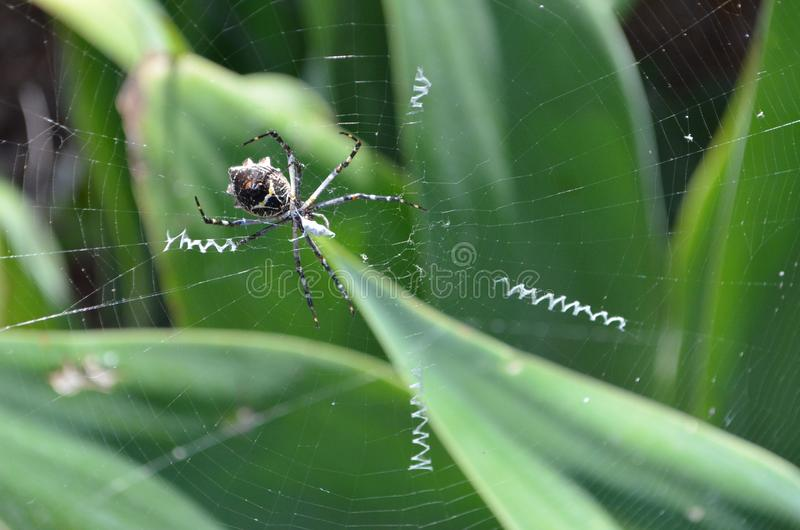 Spider Orb weaver in web royalty free stock photo