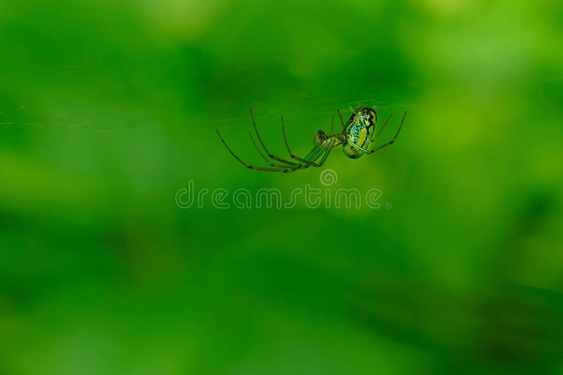 Orchard Orbweaver Spider - Leucauge venusta. A female Orchard Orbweaver is waiting patiently in her web. Rouge National Urban Park, Toronto, Ontario, Canada royalty free stock images