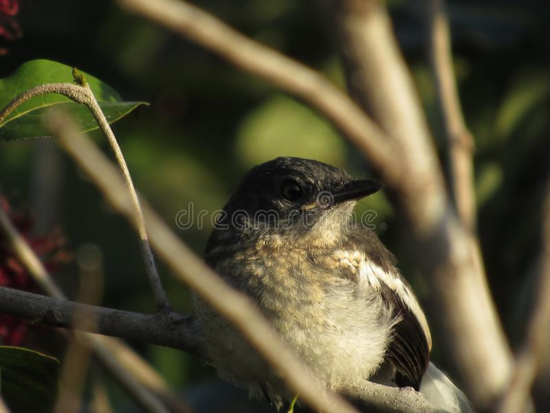 Female Oriental Magpie-Robin Closeup. Closeup of a female Oriental Magpie-Robin Copsychus saularis, perched on a rambutan tree branch stock images