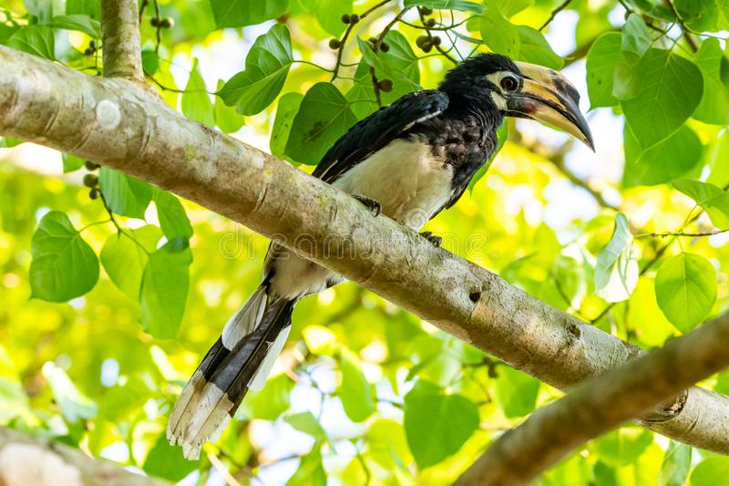 Female Oriental Pied Hornbill perching on Bo tree perch feeding on its fruit. Kuiburi, Thailand royalty free stock images
