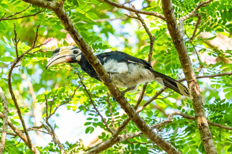 Female Oriental Pied Hornbill perching on Rain Tree East Indian Walnut perch. Kuiburi, Thailand stock images