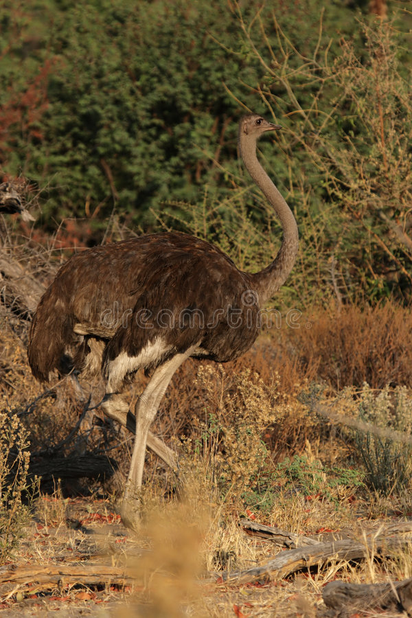 Female Ostrich royalty free stock images
