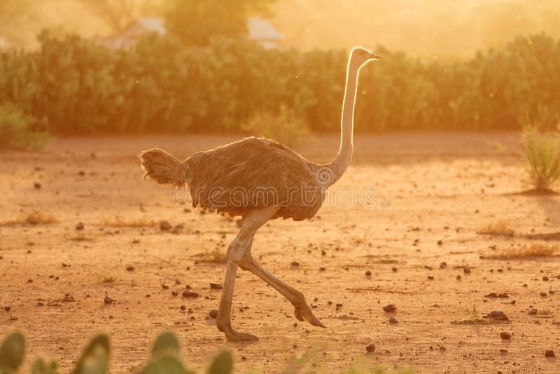 Female ostrich, Amboseli park, Kenya royalty free stock image