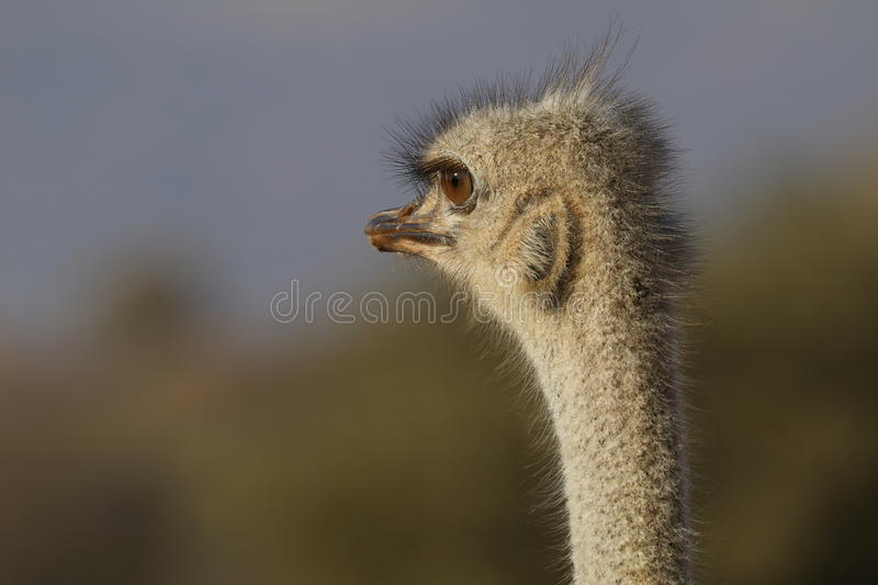 Female Ostrich stock photography