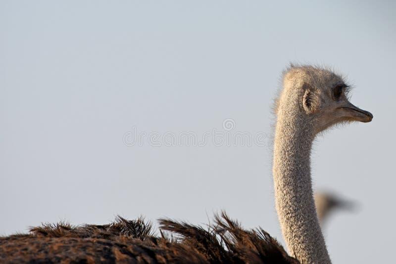 Ostrich struthio camelus in the Etosha National Park. Female Ostrich struthio camelus in the Etosha National Park in Namibia royalty free stock photo