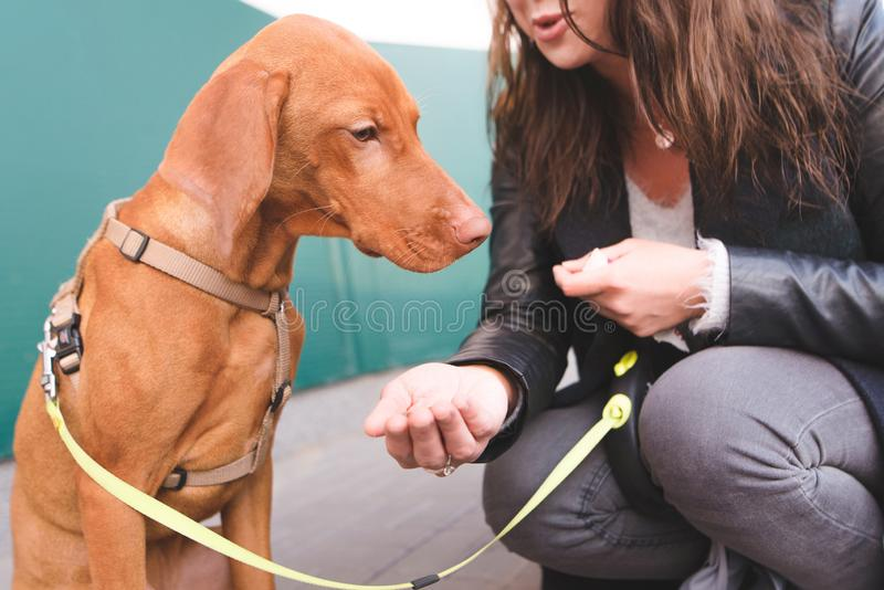 Female owner feeds the dog on the street. The sad dog does not want to eat. Magyar Vizsla Breed. The female owner feeds the dog on the street. The sad dog does royalty free stock photos