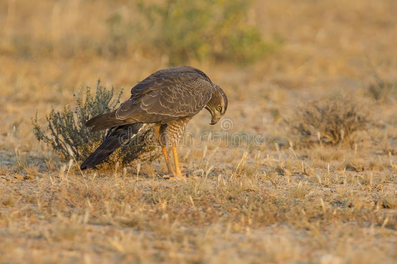 Female Pale Chanting Goshawk hunting for food on ground in the K stock image