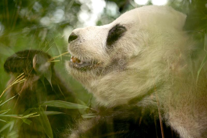 Female panda is eating green bamboo leaves royalty free stock images