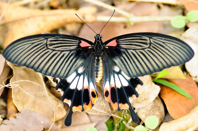 A female Papilio memnon stock photos