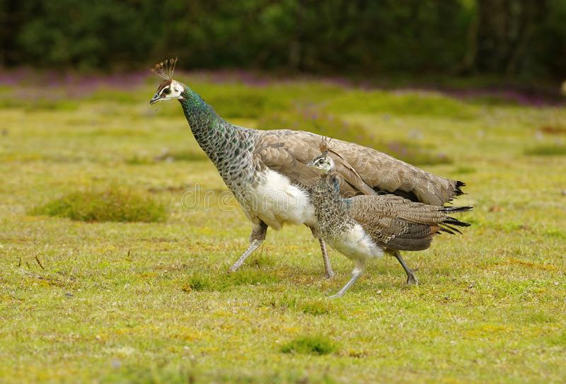 Female peahen with peachick at her side. Cornwall, england stock photo