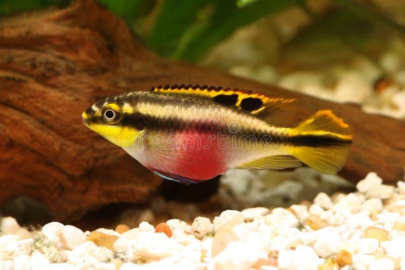 Female Pelvicachromis pulcher kribensis cichlid Aquarium fish. Aquarium stock photo