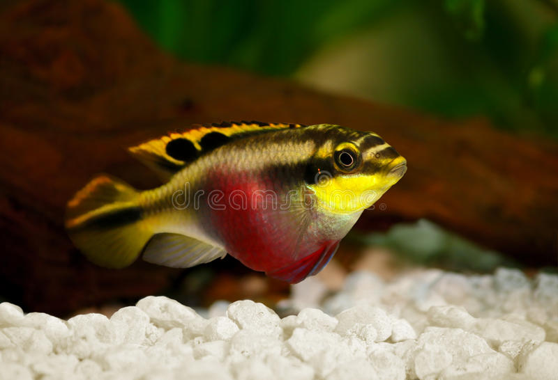 Female Pelvicachromis pulcher kribensis cichlid Aquarium fish. Freshwater stock photos