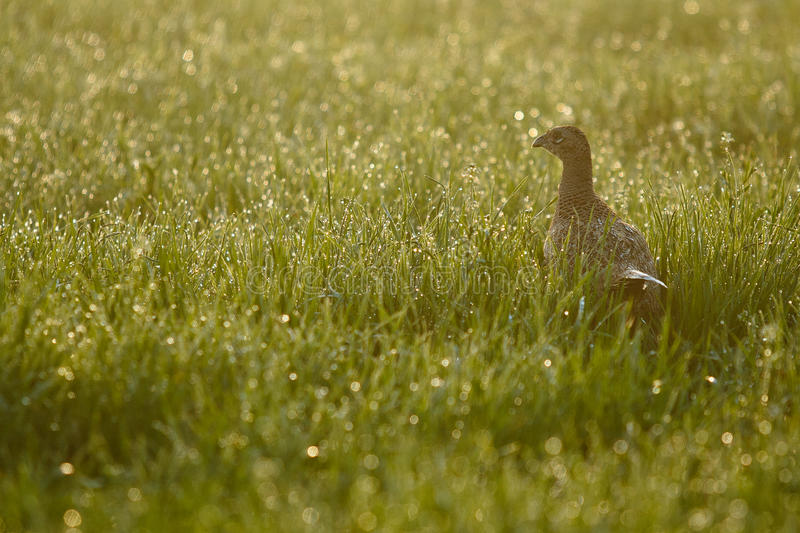 Download Female pheasant stock image. Image of season, dawn, grass - 27811809