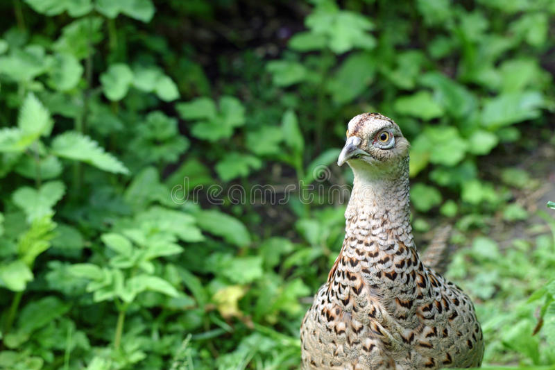 Female pheasant. With a background of green leaves stock images
