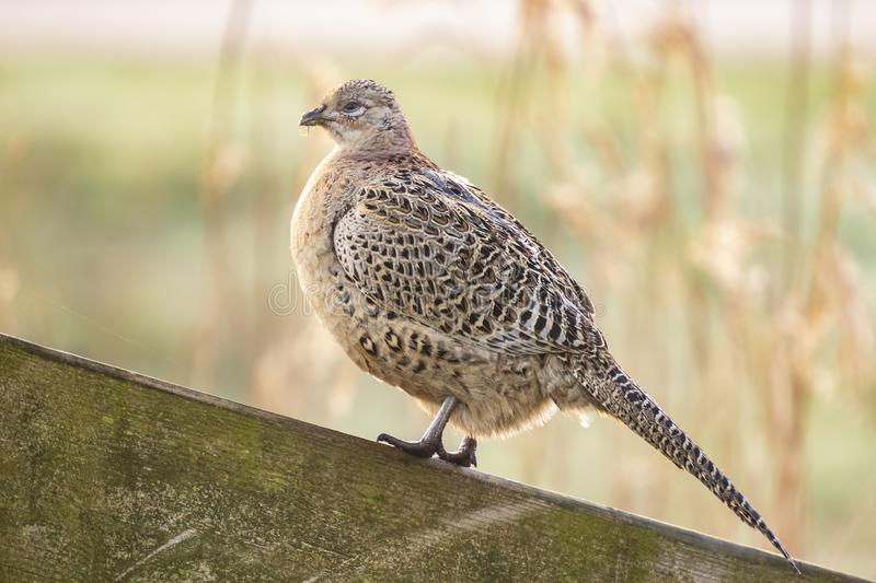 Female Pheasant hen Phasianus colchicus posing in early morning sunlight. Female Pheasant hen Phasianus colchicus posing on a wooden fence on farmland in early royalty free stock photo