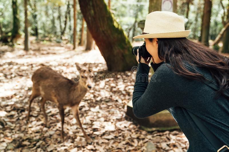Female photographer taking photo of wildlife. Asian female photographer taking photo of wildlife in nara park japan. young woman lens man with .slr camera and stock images