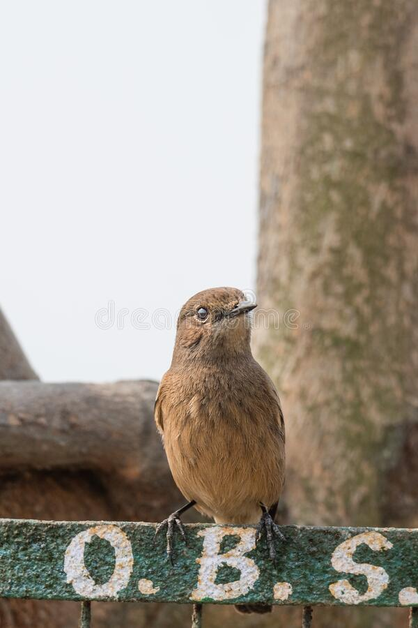 Female Pied Bushchat perched and watching stock image