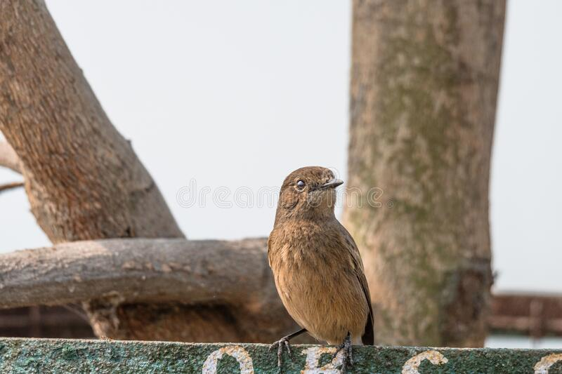 Female Pied Bushchat perched and watching stock images