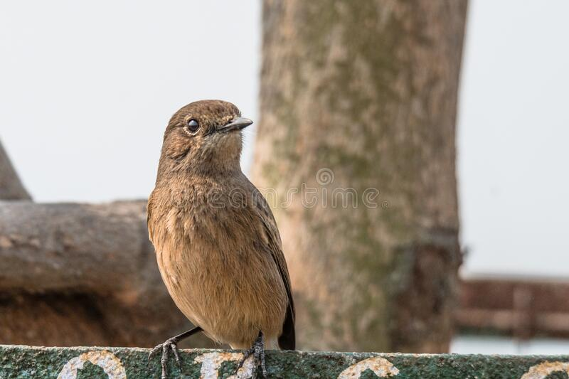 Female Pied Bushchat perched and watching stock photography