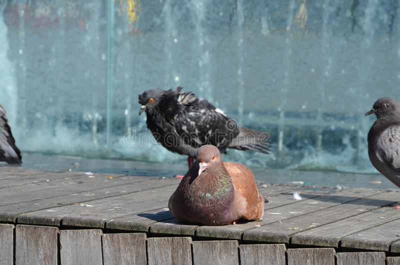 Female pigeon resting on sun stock photos