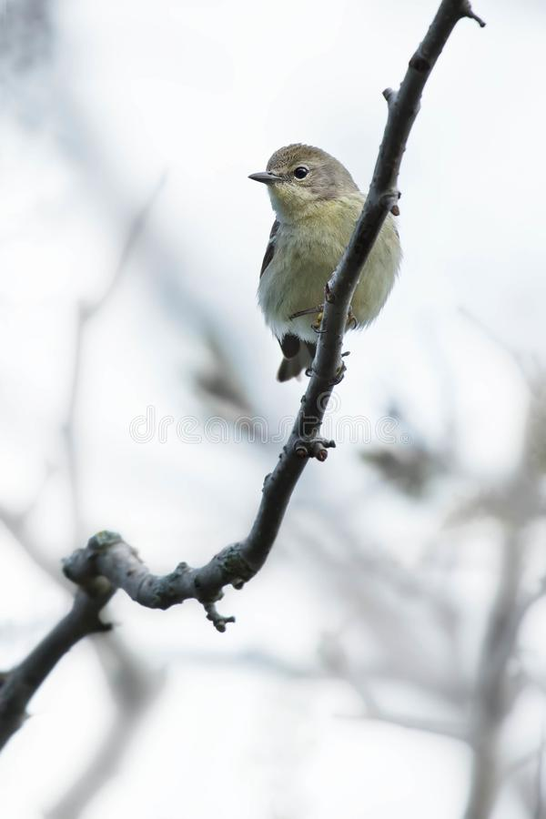 Download Pine Warbler stock photo. Image of america, birds, outdoors - 116793036