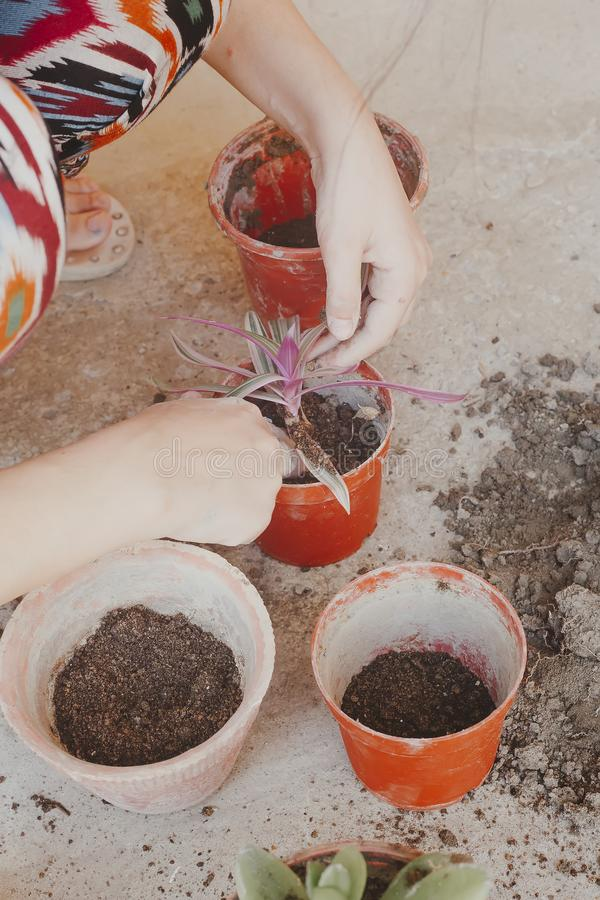 Female planting home plants. Young middle eastern woman planting flower in the pot. Girl gardening. House wife transplanting plant. Female planting home plants royalty free stock images