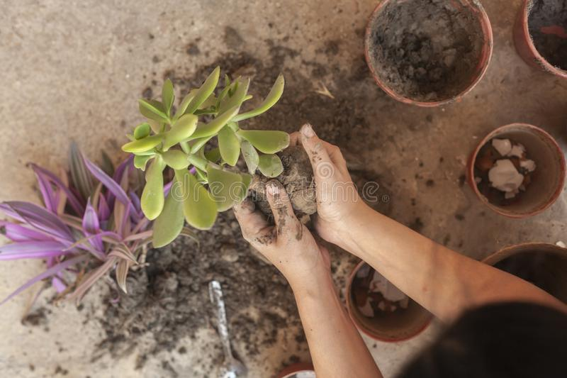 Female planting home plants. Young middle eastern woman planting flower in the pot. Girl gardening. House wife transplanting plant. Female planting home plants royalty free stock photography