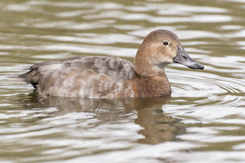 Download A Female Pochard Duck On The Cemetery Lake Southampton Common Stock Image - Image of pond, female: 113331359