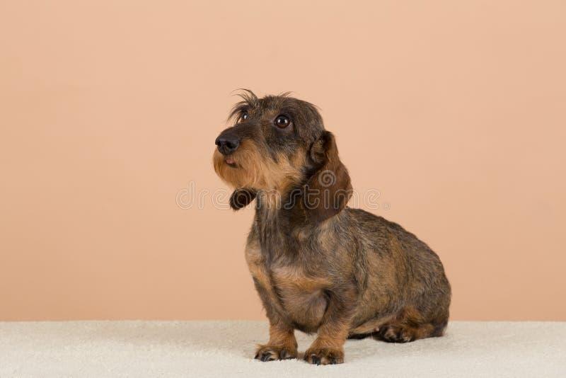 Female portrait of brown dachshund. European champion, breeding station royalty free stock photos