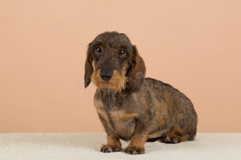 Female portrait of brown dachshund. European champion, breeding station royalty free stock photography